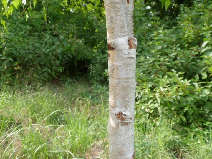 szynszyle brzoza szynszyla