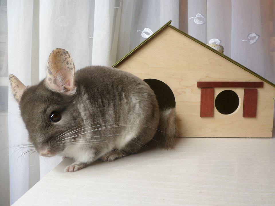 domek dla szynszyli - domek dla gryzonia