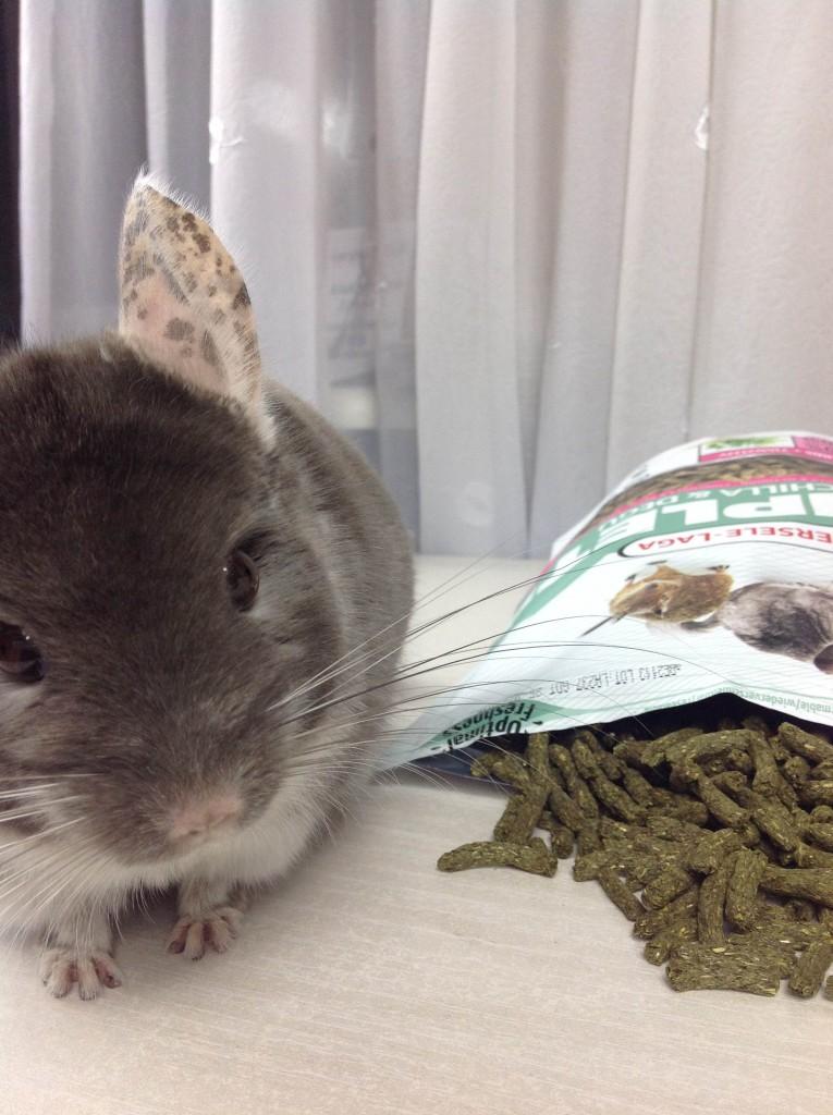 żywienie szynszyli - dlaczego szynszyla nie chce jeść karmy