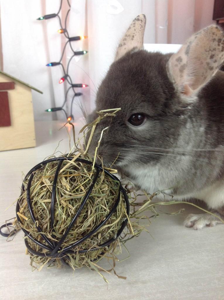 żywienie szynszyli - dlaczego szynszyla nie chce jeść karmy?