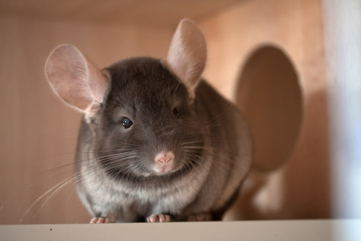 brown velvet chinchilla - szynszyla brązowy aksamit (brown velvet - blog o szynszylach