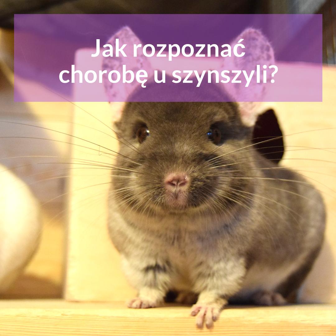 choroby-szynszyli-blog-o-szynszylach