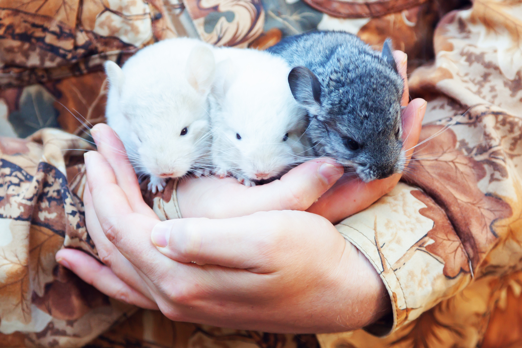 Three baby chinchillas in the hands
