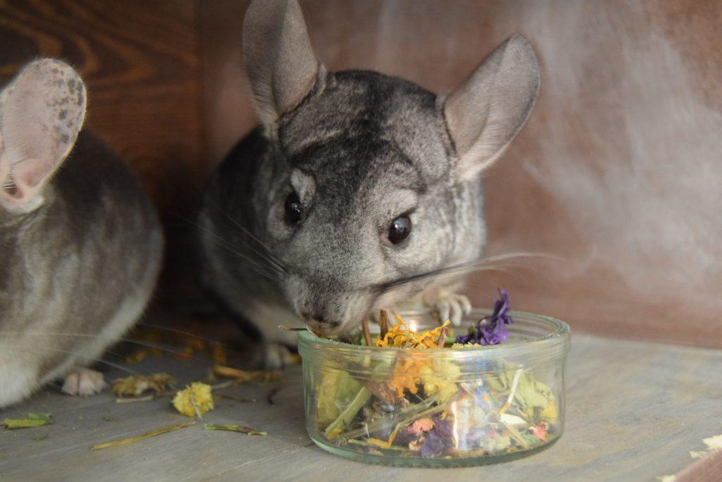 gryziółka żywienie szynszyli - co szynszyla może jeść - blog o szynszylach