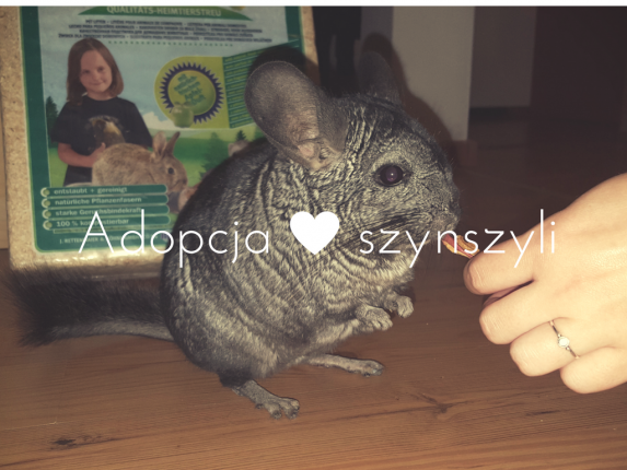 adoptuj-szynszyla
