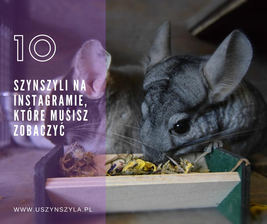 blog-o-szynszylach