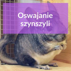 oswajanie-szynszyli