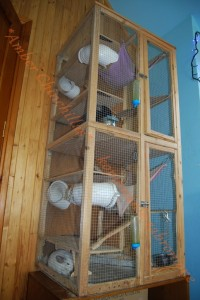 Amber Chinchillas3