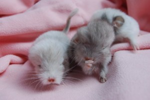 Amber Chinchillas2