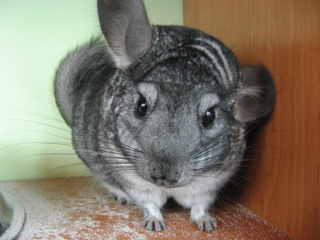 szynszyla mała - jak wygląda szynszyla - brązowy aksamit - blog o szynszylach