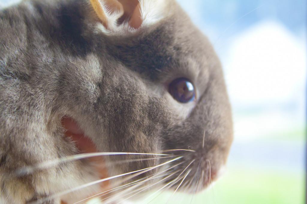 brown velvet chinchilla - szynszyla brązowy aksamit (brown velvet - blog o szynszylach