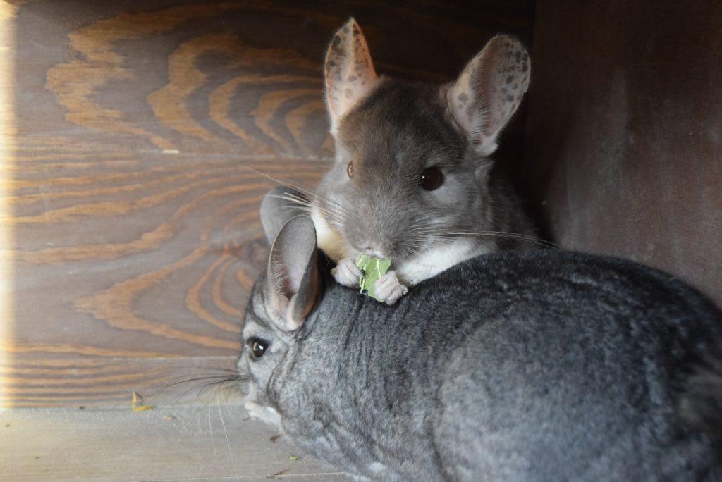 gryziółka żywienie szynszyli - co szynszyla może jeść - blog o szynszylach gryziółka