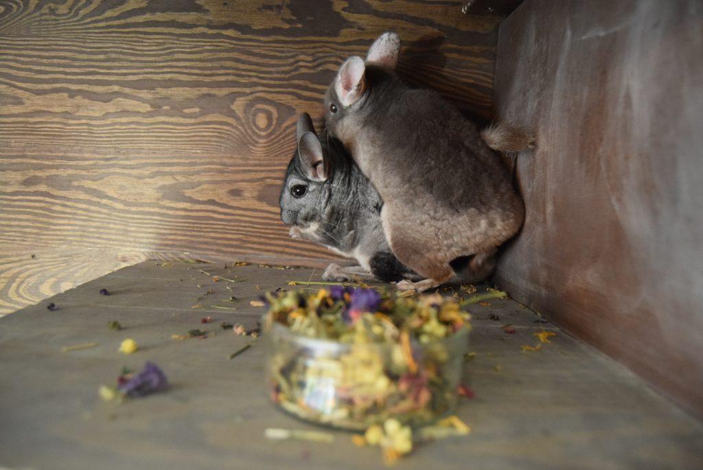 żywienie szynszyli - co szynszyla może jeść - blog o szynszylach - gryziółka herbal pets